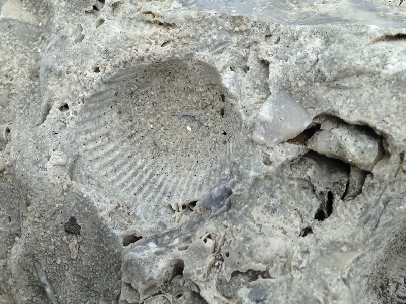 Figure 4: Detail of an impression made in the mud by a ridged shell.